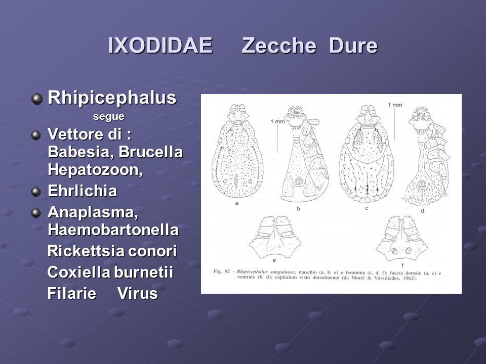 IXODIDAE Zecche Dure Rhipicephalus segue segue Vettore di : Babesia, Brucella Hepatozoon, Ehrlichia Anaplasma, Haemobartonella Rickettsia conori Ricke