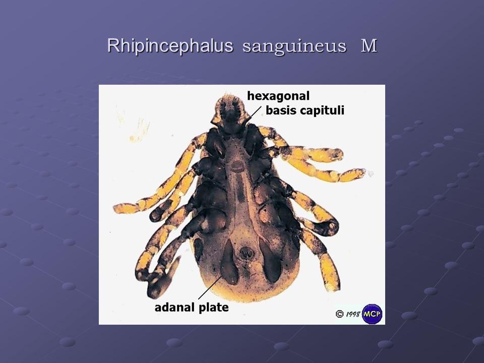 Rhipincephalus sanguineus M