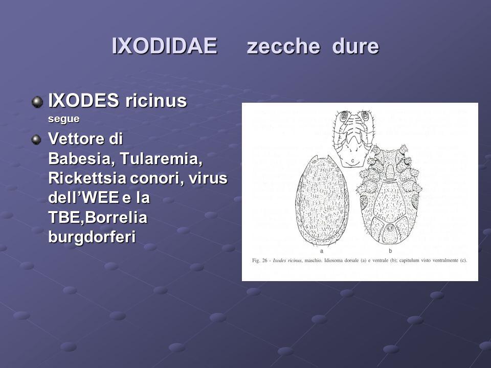 IXODIDAE zecche dure IXODES ricinus segue Vettore di Babesia, Tularemia, Rickettsia conori, virus dellWEE e la TBE,Borrelia burgdorferi