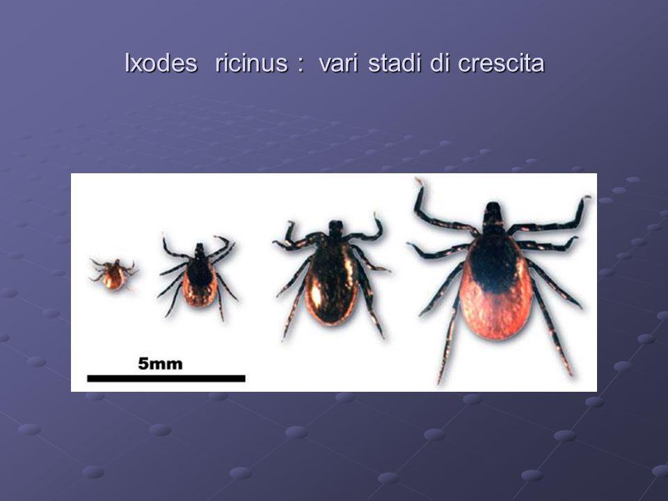 Ixodes ricinus : vari stadi di crescita