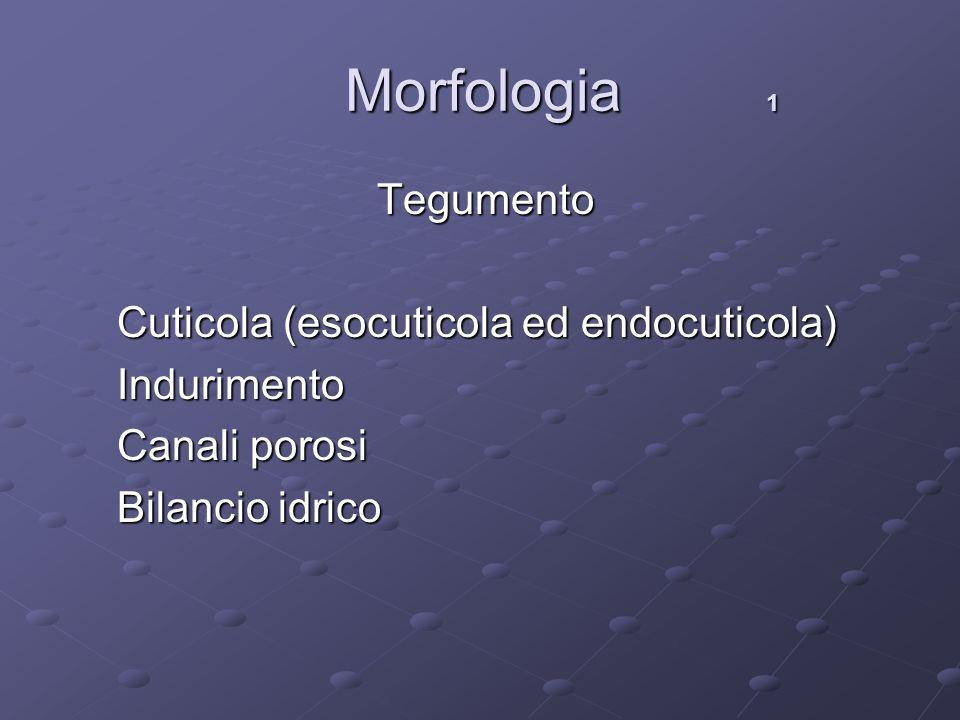 Morfologia 1 Morfologia 1 Tegumento Tegumento Cuticola (esocuticola ed endocuticola) Cuticola (esocuticola ed endocuticola) Indurimento Indurimento Ca
