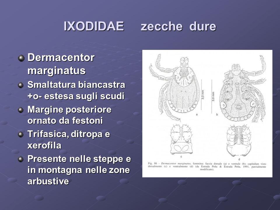 IXODIDAE zecche dure Dermacentor marginatus Smaltatura biancastra +o- estesa sugli scudi Margine posteriore ornato da festoni Trifasica, ditropa e xer