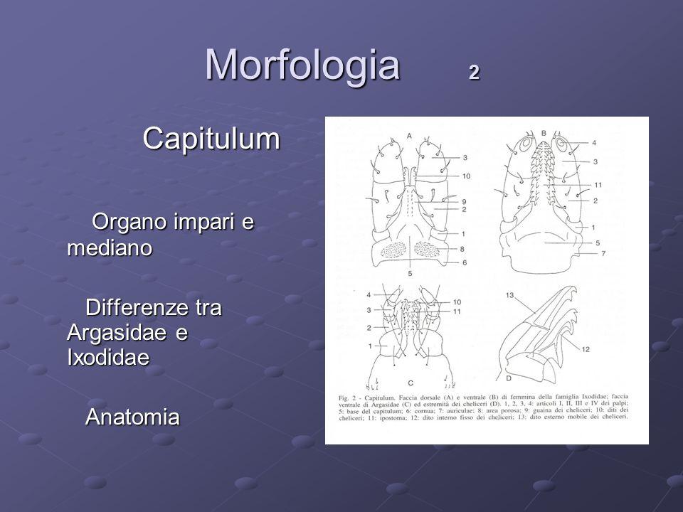 Morfologia 2 Capitulum Capitulum Organo impari e mediano Organo impari e mediano Differenze tra Argasidae e Ixodidae Differenze tra Argasidae e Ixodid