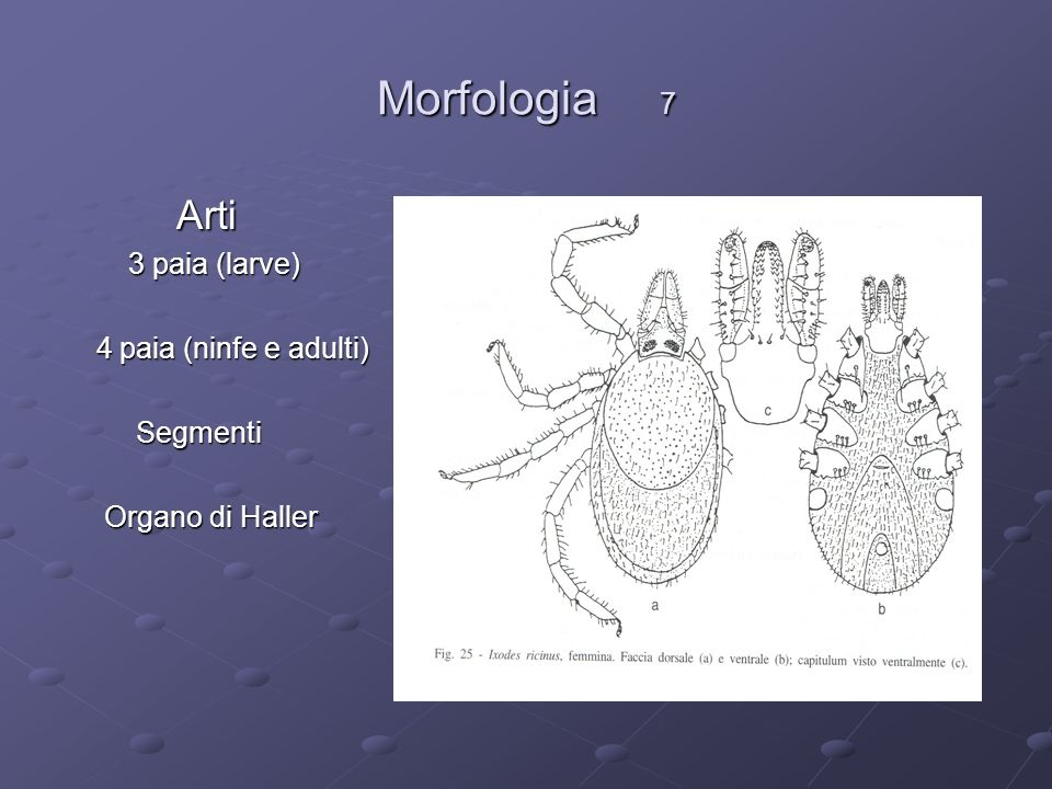 Morfologia 7 Arti Arti 3 paia (larve) 3 paia (larve) 4 paia (ninfe e adulti) 4 paia (ninfe e adulti) Segmenti Segmenti Organo di Haller Organo di Hall