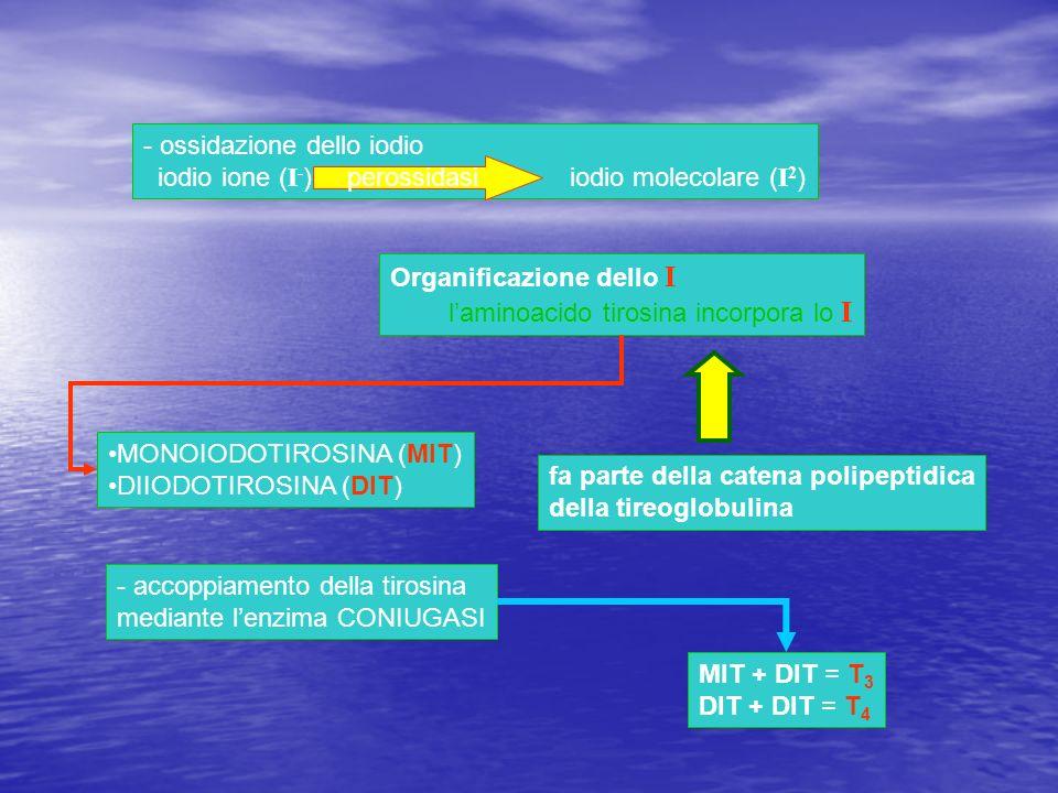 - ossidazione dello iodio iodio ione ( I - ) iodio molecolare ( I 2 ) Organificazione dello I laminoacido tirosina incorpora lo I MONOIODOTIROSINA (MI