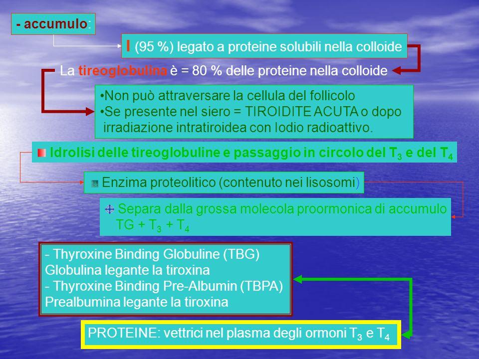- accumulo: I (95 %) legato a proteine solubili nella colloide La tireoglobulina è = 80 % delle proteine nella colloide Non può attraversare la cellul