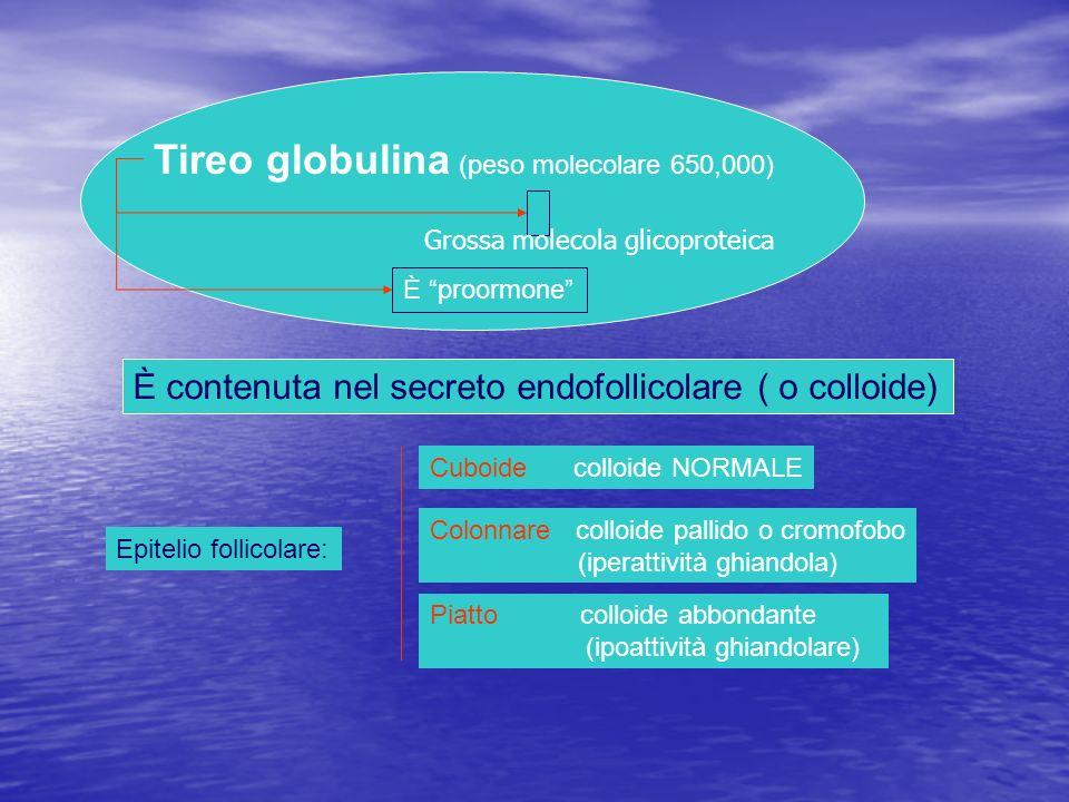 Tireo globulina (peso molecolare 650,000) È contenuta nel secreto endofollicolare ( o colloide) È proormone Epitelio follicolare: Cuboide colloide NOR