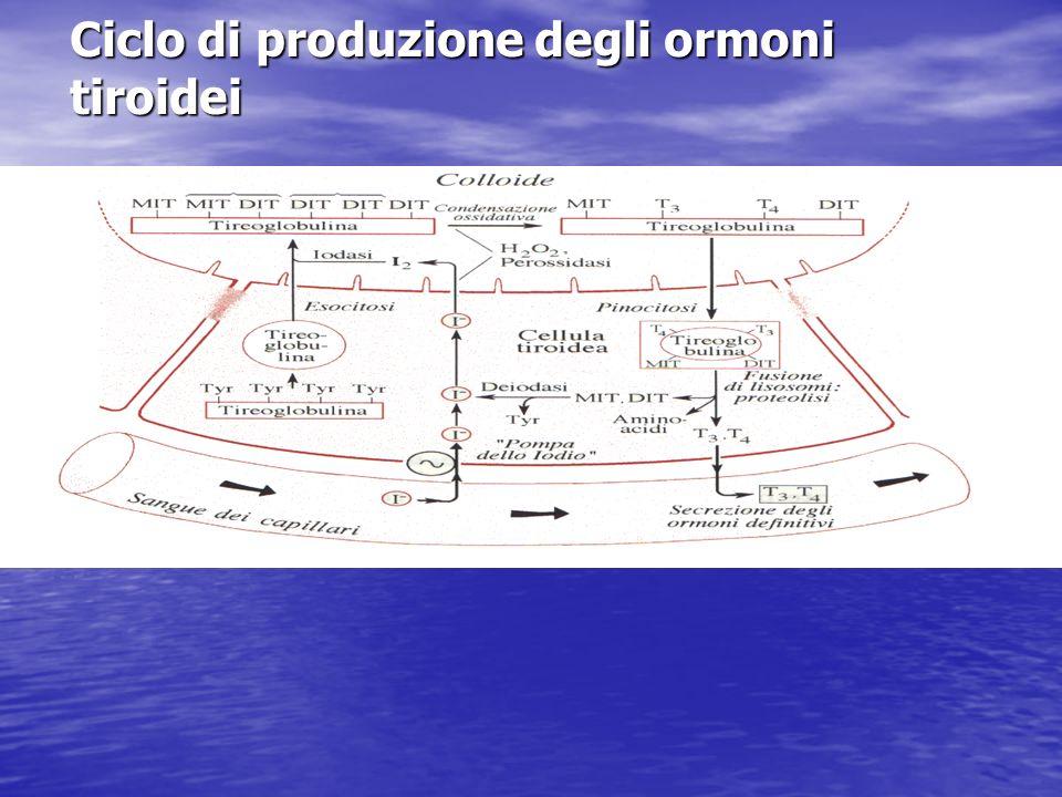 Ciclo di produzione degli ormoni tiroidei