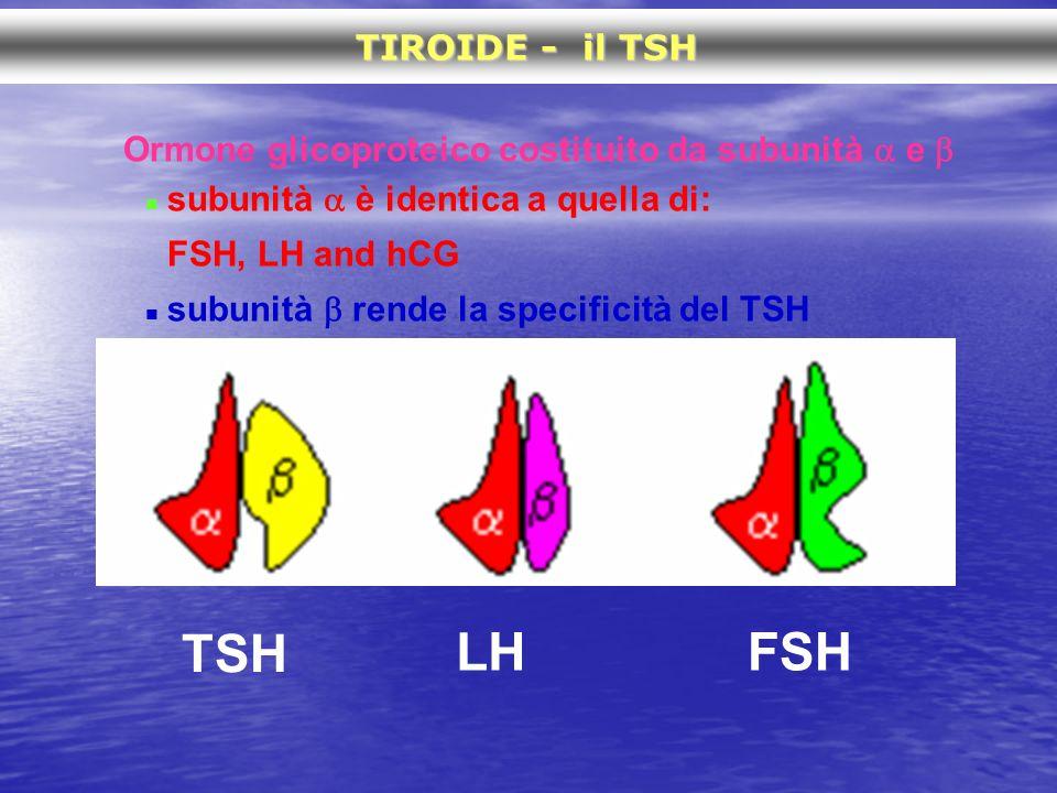 Ormone glicoproteico costituito da subunità e subunità è identica a quella di: FSH, LH and hCG subunità rende la specificità del TSH TIROIDE - il TSH