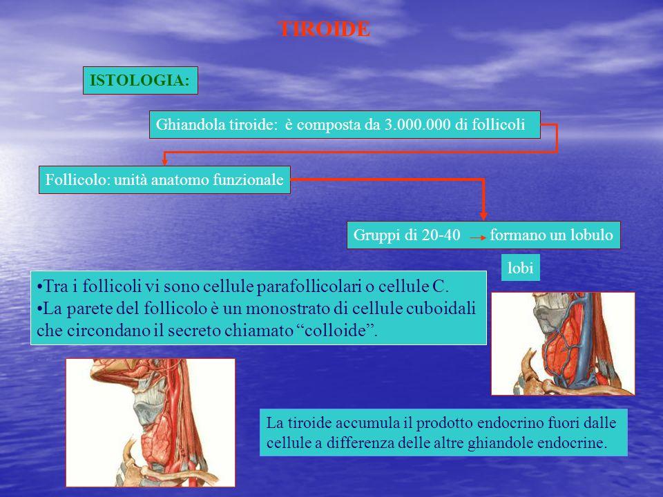 ISTOLOGIA: Ghiandola tiroide: è composta da 3.000.000 di follicoli Follicolo: unità anatomo funzionale Gruppi di 20-40 formano un lobulo lobi Tra i fo