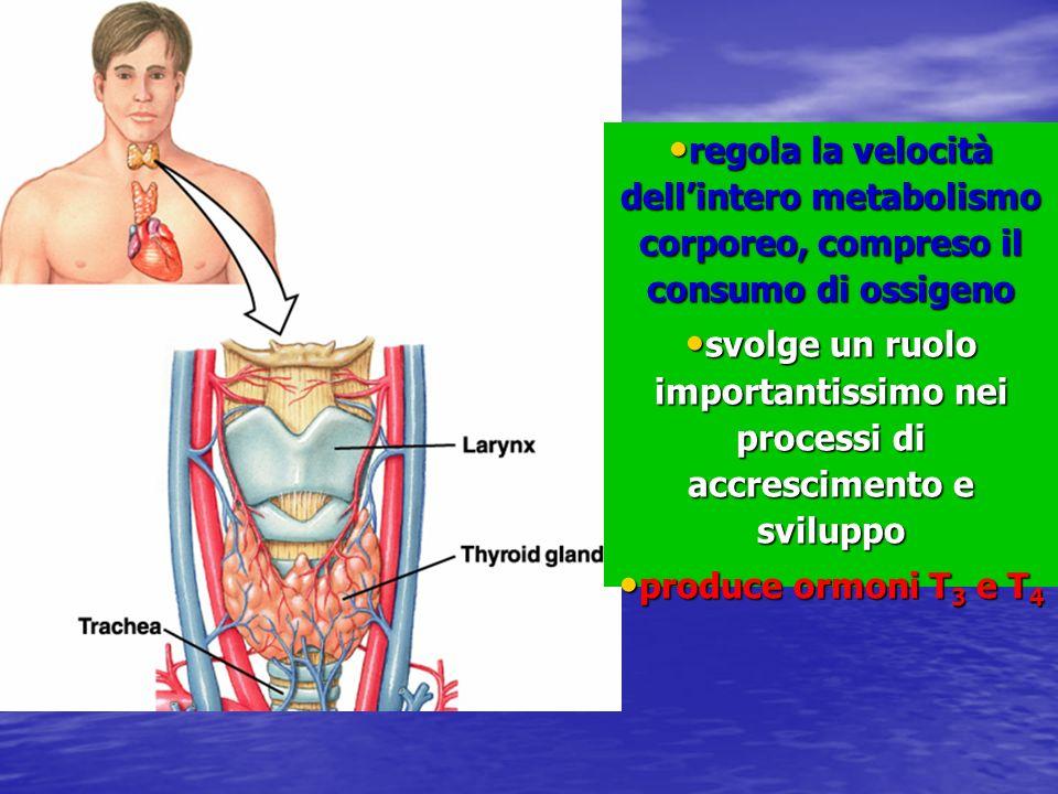 regola la velocità dellintero metabolismo corporeo, compreso il consumo di ossigeno regola la velocità dellintero metabolismo corporeo, compreso il co