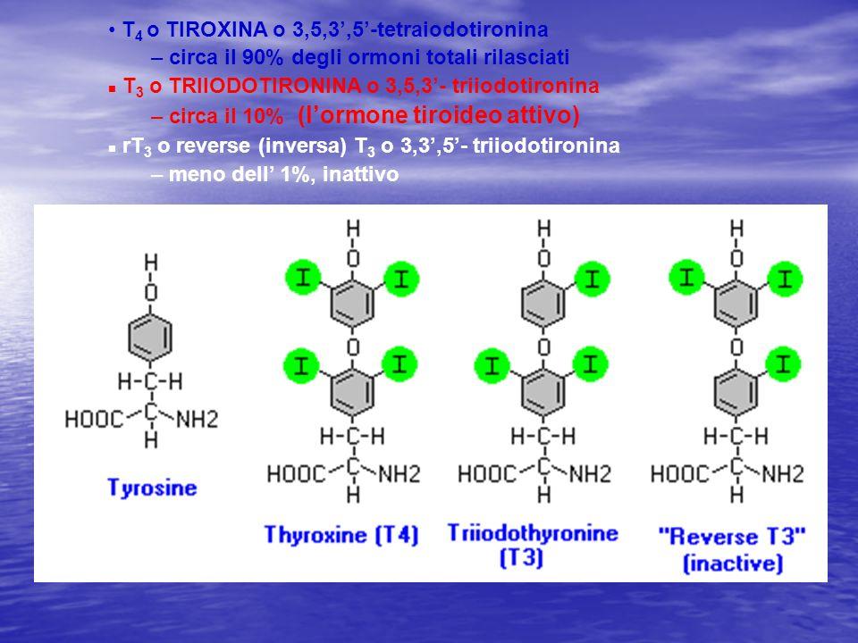 T 4 o TIROXINA o 3,5,3,5-tetraiodotironina – circa il 90% degli ormoni totali rilasciati n T 3 o TRIIODOTIRONINA o 3,5,3- triiodotironina – circa il 1