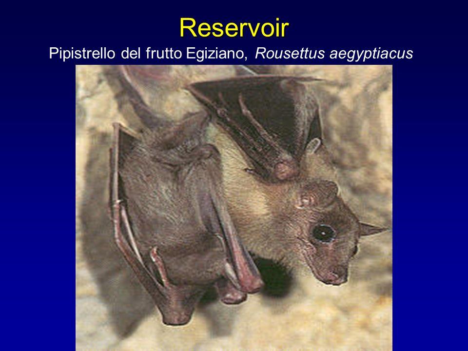 Reservoir Pipistrello del frutto Egiziano, Rousettus aegyptiacus