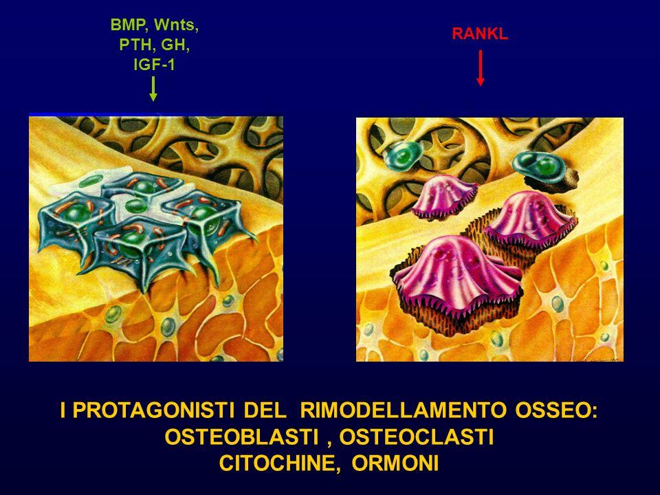 I PROTAGONISTI DEL RIMODELLAMENTO OSSEO: OSTEOBLASTI, OSTEOCLASTI CITOCHINE, ORMONI BMP, Wnts, PTH, GH, IGF-1 RANKL