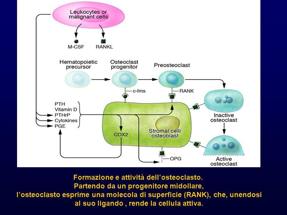 Formazione e attività dellosteoclasto. Partendo da un progenitore midollare, losteoclasto esprime una molecola di superficie (RANK), che, unendosi al