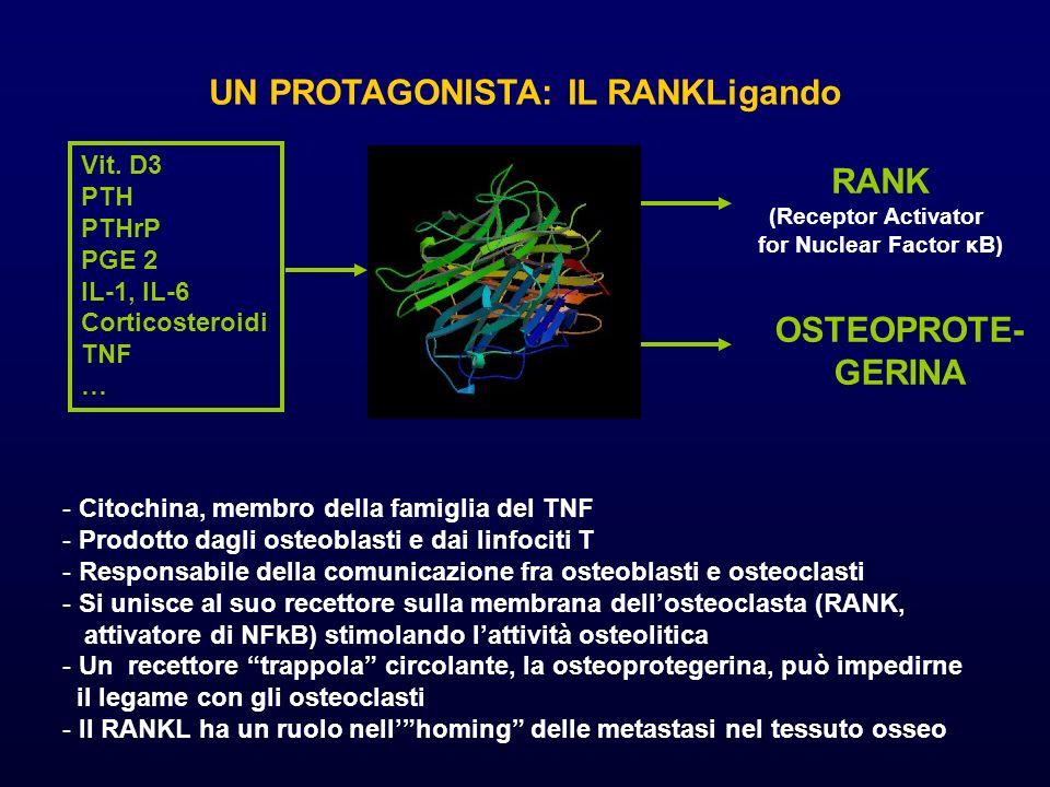 UN PROTAGONISTA: IL RANKLigando - Citochina, membro della famiglia del TNF - Prodotto dagli osteoblasti e dai linfociti T - Responsabile della comunic