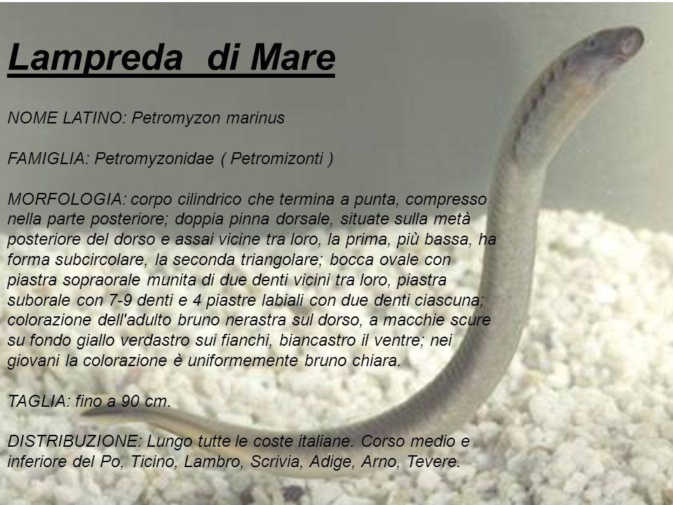 Lampreda di Mare NOME LATINO: Petromyzon marinus FAMIGLIA: Petromyzonidae ( Petromizonti ) MORFOLOGIA: corpo cilindrico che termina a punta, compresso
