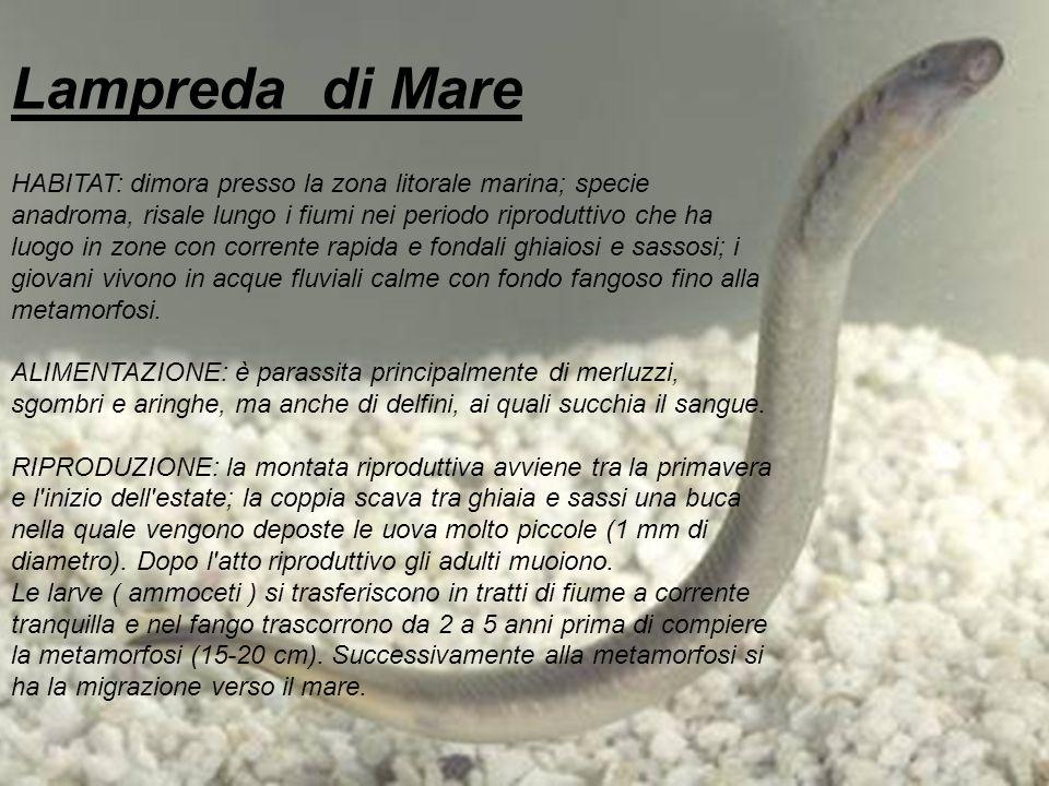 Lampreda di Mare HABITAT: dimora presso la zona litorale marina; specie anadroma, risale lungo i fiumi nei periodo riproduttivo che ha luogo in zone c