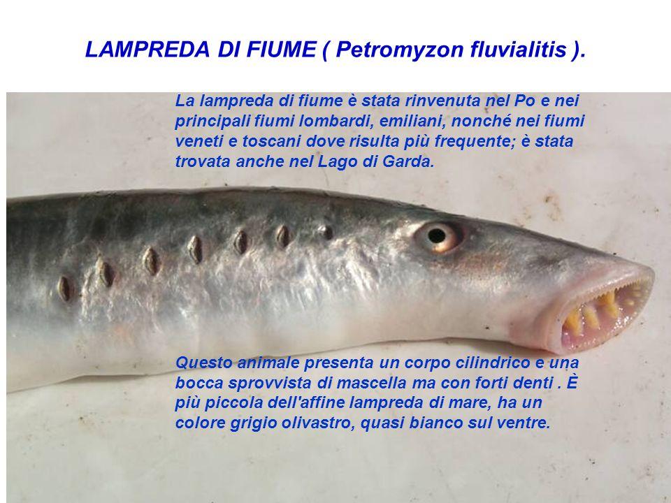 La lampreda di fiume è stata rinvenuta nel Po e nei principali fiumi lombardi, emiliani, nonché nei fiumi veneti e toscani dove risulta più frequente;