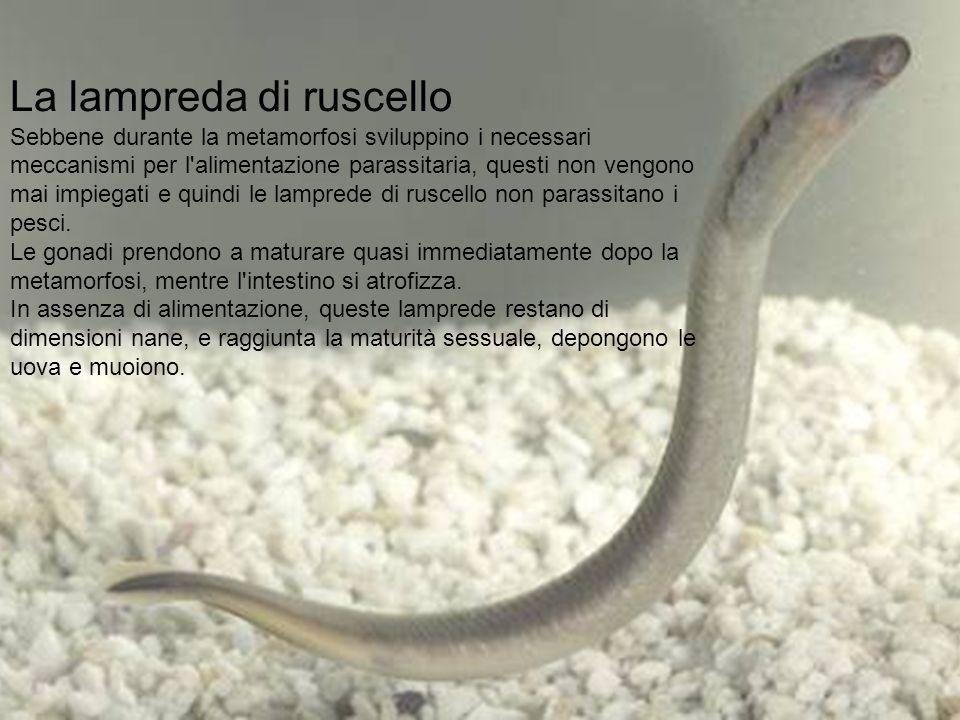 La lampreda di ruscello Sebbene durante la metamorfosi sviluppino i necessari meccanismi per l'alimentazione parassitaria, questi non vengono mai impi