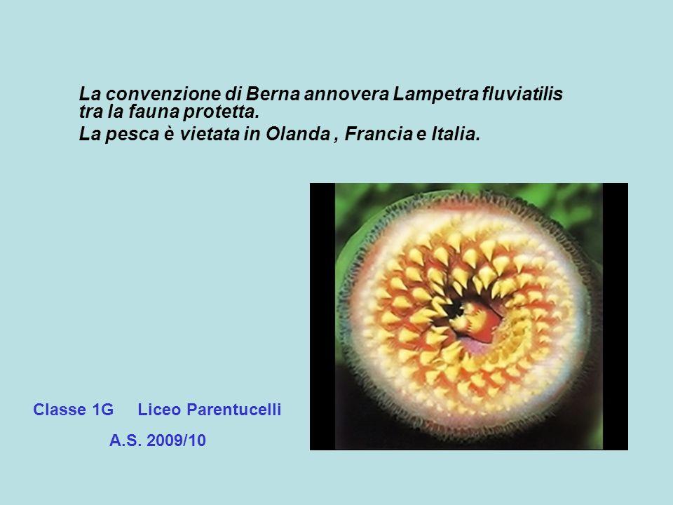La convenzione di Berna annovera Lampetra fluviatilis tra la fauna protetta. La pesca è vietata in Olanda, Francia e Italia. Classe 1G Liceo Parentuce