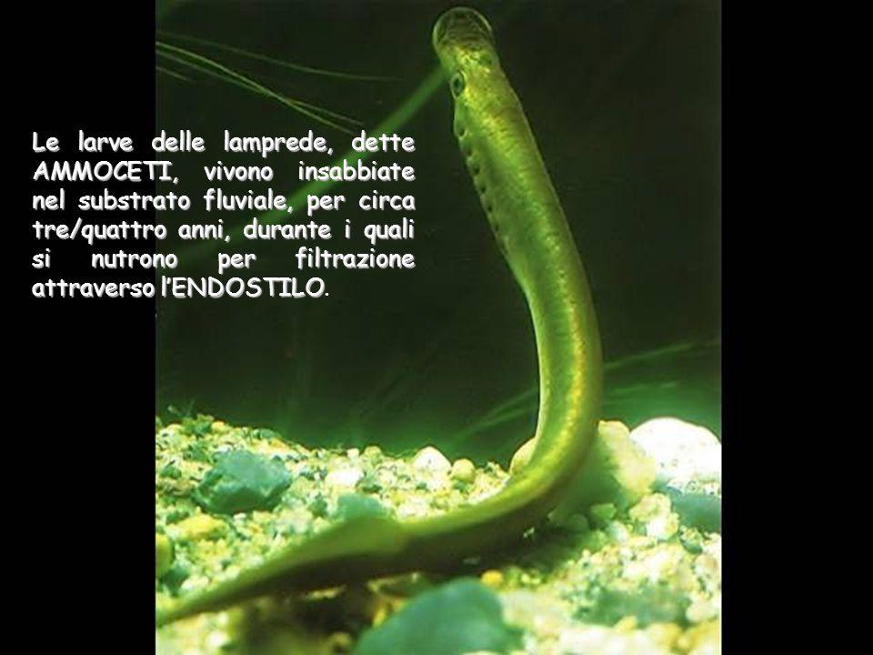 Le larve delle lamprede, dette AMMOCETI, vivono insabbiate nel substrato fluviale, per circa tre/quattro anni, durante i quali si nutrono per filtrazi