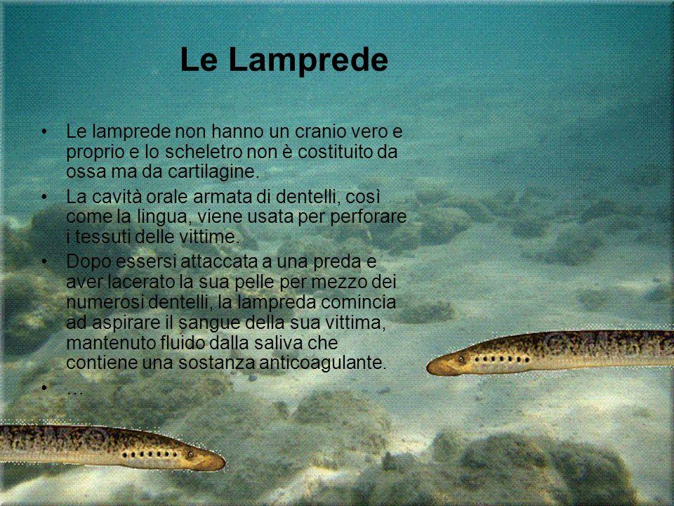 Le lamprede non hanno un cranio vero e proprio e lo scheletro non è costituito da ossa ma da cartilagine. La cavità orale armata di dentelli, così com