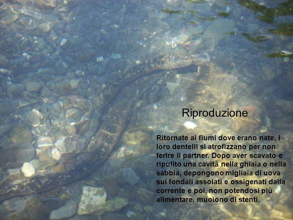 Riproduzione Ritornate ai fiumi dove erano nate, i loro dentelli si atrofizzano per non ferire il partner. Dopo aver scavato e ripulito una cavità nel