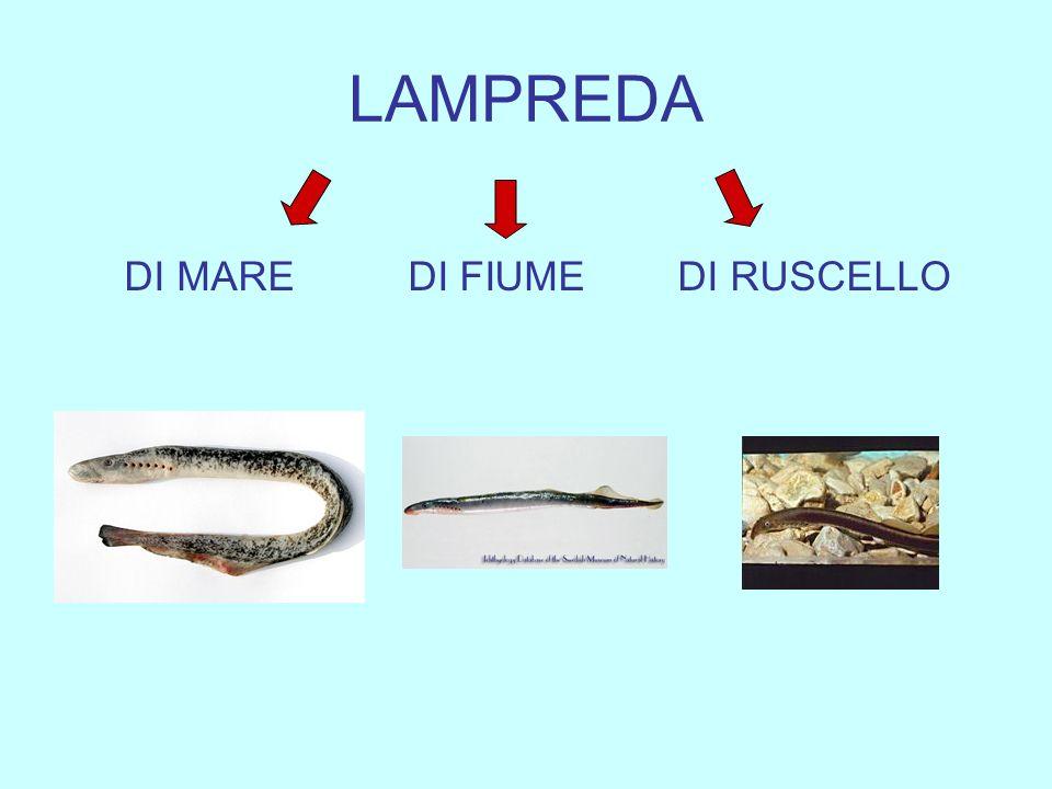 LAMPREDA DI MARE DI FIUME DI RUSCELLO