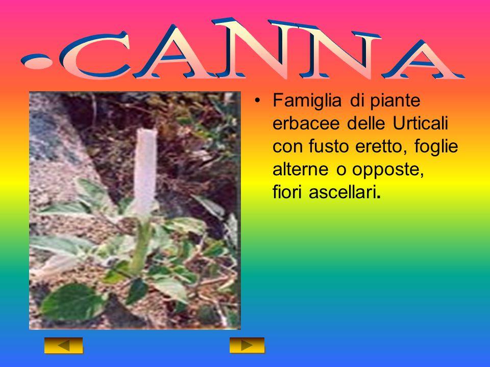 Famiglia di piante erbacee delle Urticali con fusto eretto, foglie alterne o opposte, fiori ascellari.