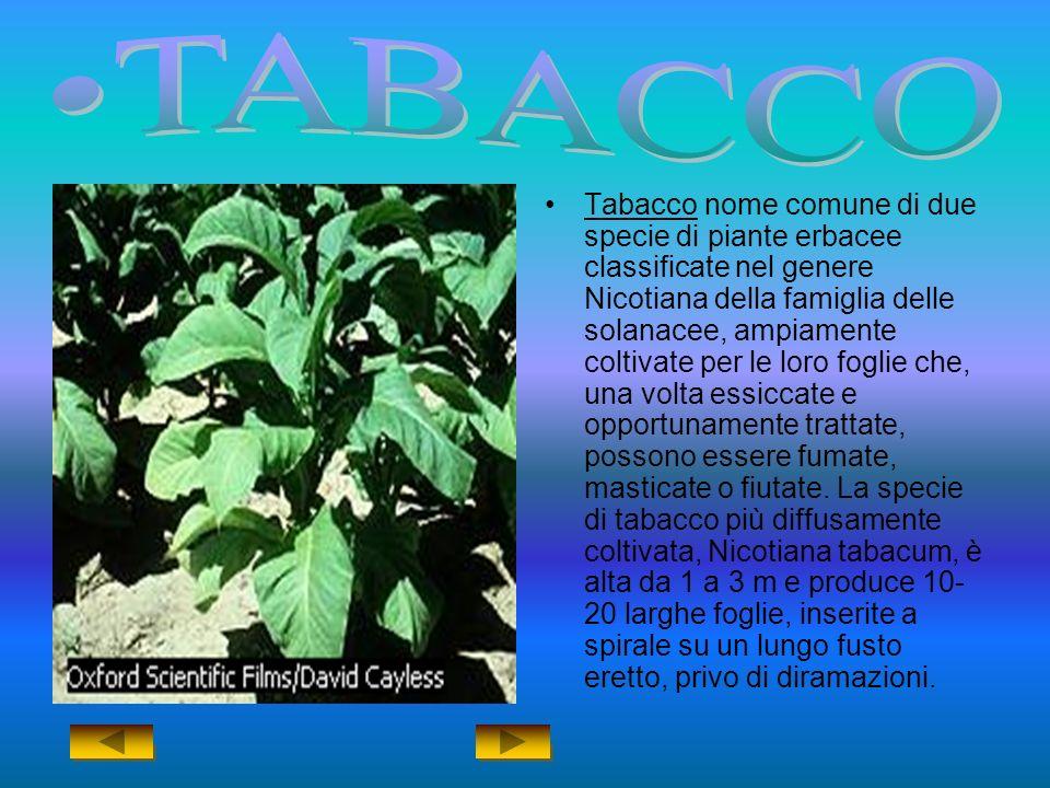 Tabacco nome comune di due specie di piante erbacee classificate nel genere Nicotiana della famiglia delle solanacee, ampiamente coltivate per le loro foglie che, una volta essiccate e opportunamente trattate, possono essere fumate, masticate o fiutate.
