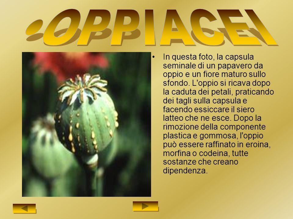 In questa foto, la capsula seminale di un papavero da oppio e un fiore maturo sullo sfondo.