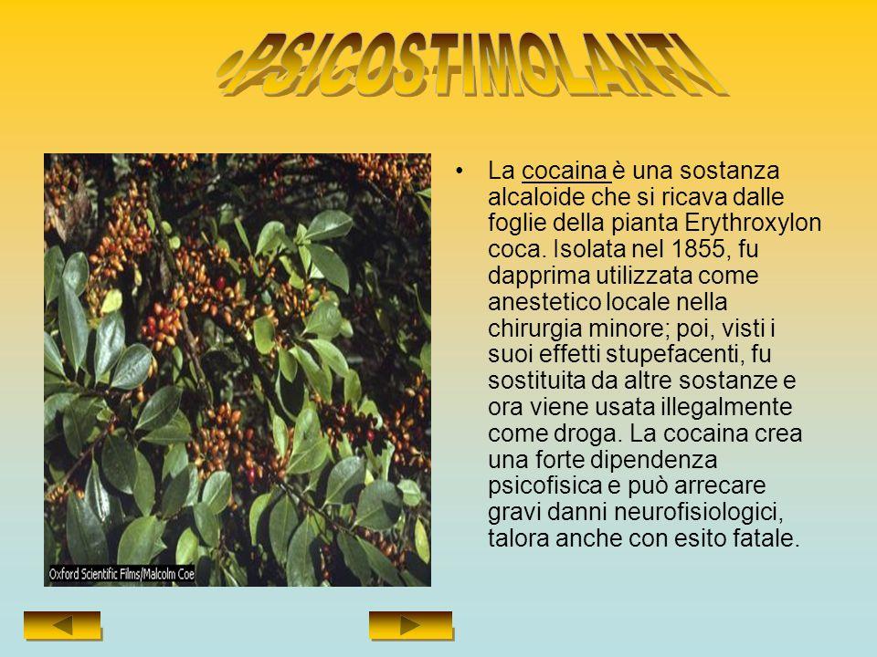 La cocaina è una sostanza alcaloide che si ricava dalle foglie della pianta Erythroxylon coca.