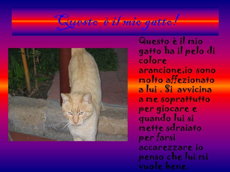 Questo è il mio gatto! Questo è il mio gatto ha il pelo di colore arancione,io sono molto affezionato a lui. Si avvicina a me soprattutto per giocare