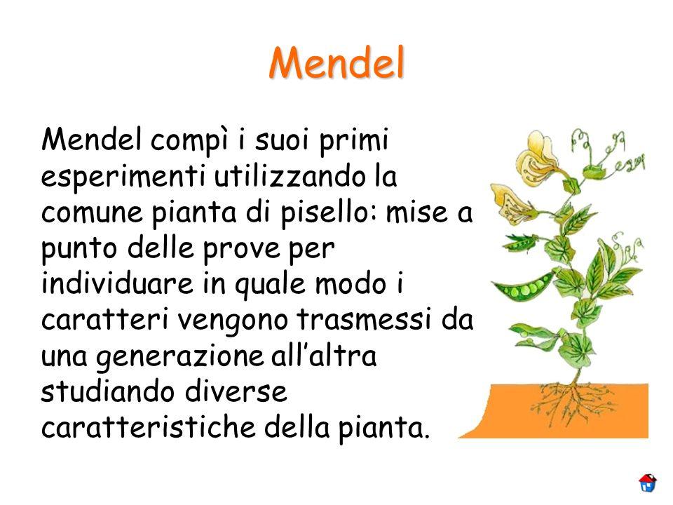 Mendel Mendel compì i suoi primi esperimenti utilizzando la comune pianta di pisello: mise a punto delle prove per individuare in quale modo i caratte