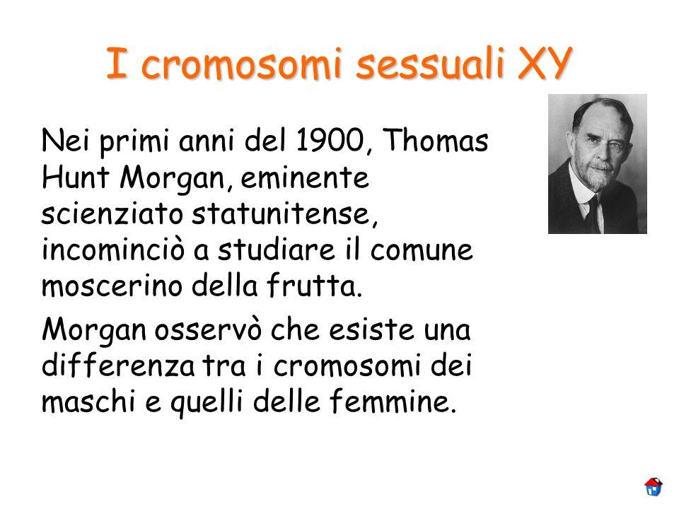 I cromosomi sessuali XY Nei primi anni del 1900, Thomas Hunt Morgan, eminente scienziato statunitense, incominciò a studiare il comune moscerino della