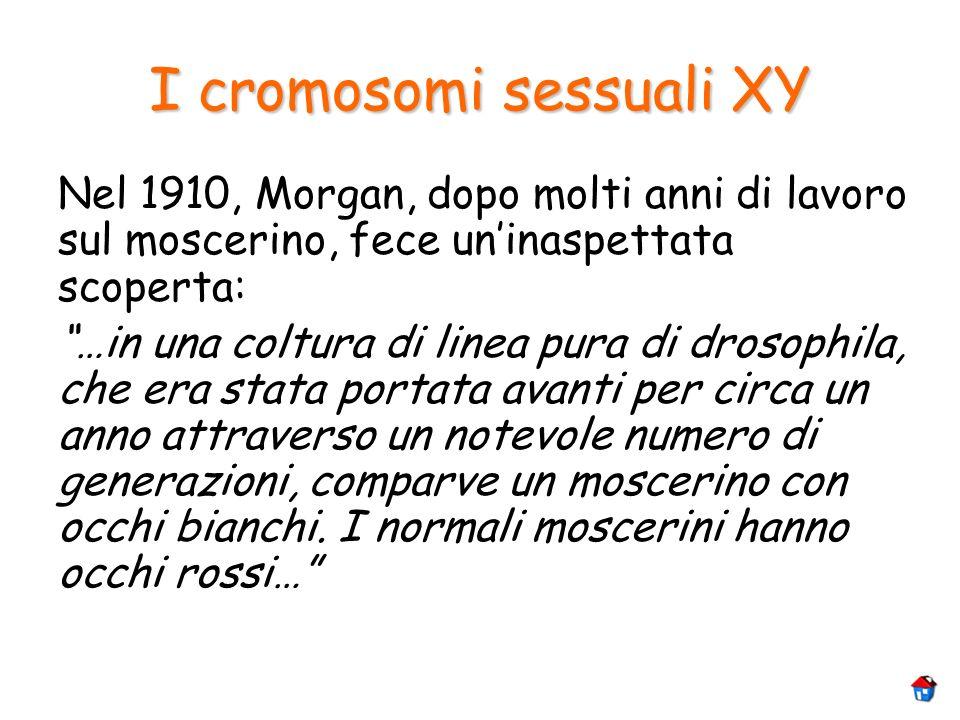 I cromosomi sessuali XY Nel 1910, Morgan, dopo molti anni di lavoro sul moscerino, fece uninaspettata scoperta: …in una coltura di linea pura di droso