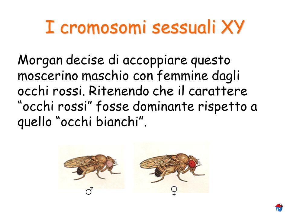 I cromosomi sessuali XY Morgan decise di accoppiare questo moscerino maschio con femmine dagli occhi rossi. Ritenendo che il carattere occhi rossi fos