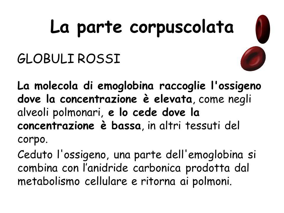 La parte corpuscolata GLOBULI ROSSI Una delle caratteristiche più appariscenti dei globuli rossi è il colore rosso, dovuto alla emoglobina, una grossa