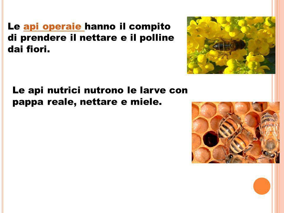 Le api operaie hanno il compitoapi operaie di prendere il nettare e il polline dai fiori.