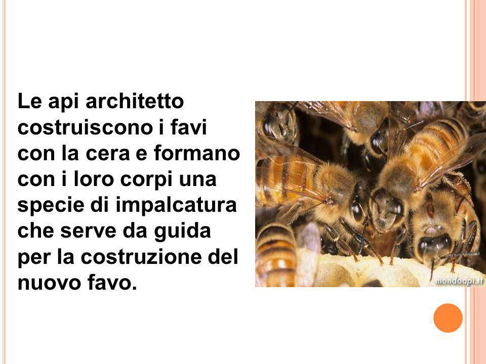 Le api spazzine puliscono l' alveare o arnia. L' ape magazziniera quando riceve il nettare, lo trasforma in miele e lo immagazzina nelle celle.