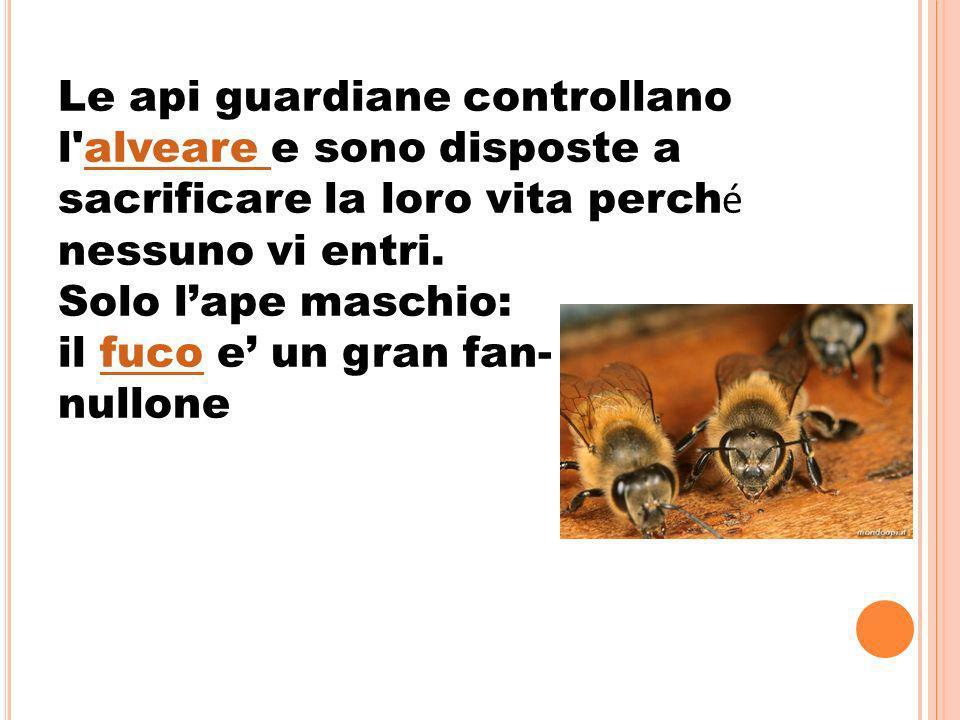 Le api guardiane controllano l alveare e sono disposte a sacrificare la loro vita perch é nessuno vi entri.alveare Solo lape maschio: il fuco e un gran fan-fuco nullone