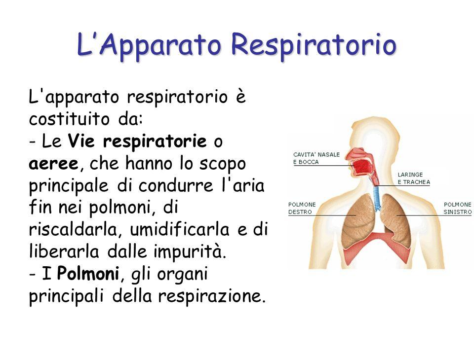 LApparato Respiratorio L'apparato respiratorio è costituito da: - Le Vie respiratorie o aeree, che hanno lo scopo principale di condurre l'aria fin ne
