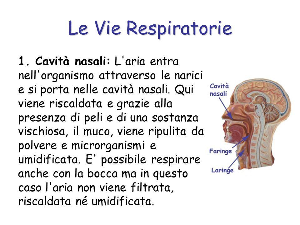 Le Vie Respiratorie 1. Cavità nasali: L'aria entra nell'organismo attraverso le narici e si porta nelle cavità nasali. Qui viene riscaldata e grazie a