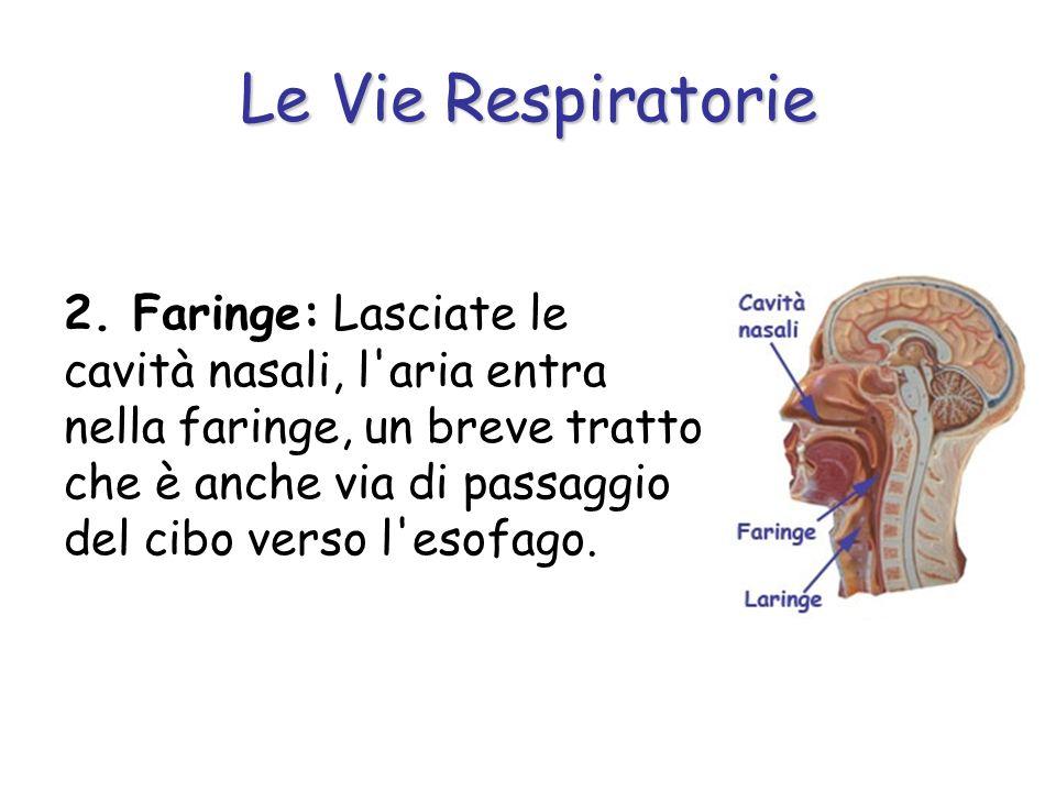 Le Vie Respiratorie 2. Faringe: Lasciate le cavità nasali, l'aria entra nella faringe, un breve tratto che è anche via di passaggio del cibo verso l'e