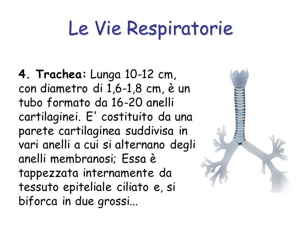 Le Vie Respiratorie 4. Trachea: Lunga 10-12 cm, con diametro di 1,6-1,8 cm, è un tubo formato da 16-20 anelli cartilaginei. E' costituito da una paret