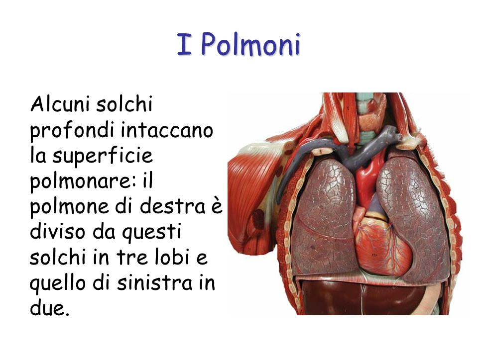I Polmoni Alcuni solchi profondi intaccano la superficie polmonare: il polmone di destra è diviso da questi solchi in tre lobi e quello di sinistra in