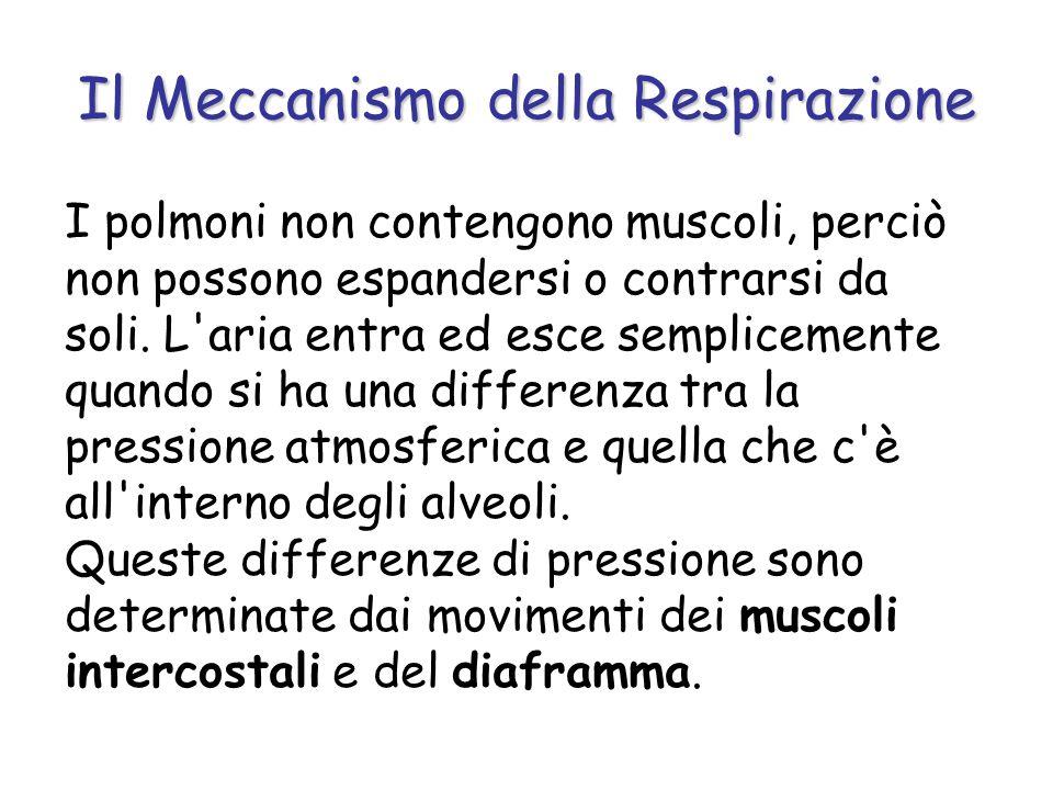 Il Meccanismo della Respirazione I polmoni non contengono muscoli, perciò non possono espandersi o contrarsi da soli. L'aria entra ed esce semplicemen