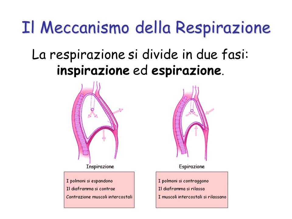 Il Meccanismo della Respirazione La respirazione si divide in due fasi: inspirazione ed espirazione.