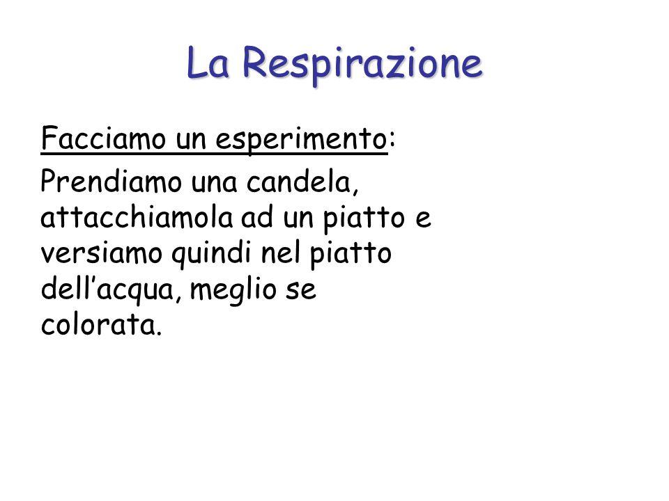LApparato Respiratorio L apparato respiratorio è costituito da: - Le Vie respiratorie o aeree, che hanno lo scopo principale di condurre l aria fin nei polmoni, di riscaldarla, umidificarla e di liberarla dalle impurità.
